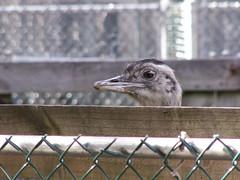 cute bird zoo nj ostrich emu hi forkedriver iforget oceancountynj popcornzoo