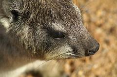 Rock Dassie (tim ellis) Tags: africa holiday animal hermanus southafrica hyrax dassie naturesfinest shongololo specanimal
