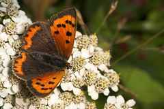 """Small Copper Butterfly (Lycaena phlae(2) • <a style=""""font-size:0.8em;"""" href=""""http://www.flickr.com/photos/57024565@N00/249027895/"""" target=""""_blank"""">View on Flickr</a>"""