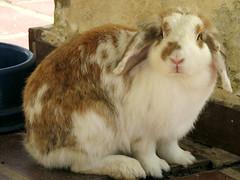 Nina (Daniel Pascoal) Tags: pet rabbit bunny public animal nina coelho danielpg
