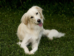 She's so cute!! (Padrone) Tags: dog cute goldenretriever interestingness retriever explore 5bestdogs furryfriday pyrenees miesha interestingness166 i500