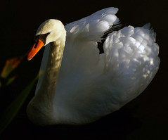 dappled swan (algo) Tags: light red photography interestingness swan topf50 topv555 bravo searchthebest quality topv1111 topv999 beak explore algo topf100 100f wendoverlake specnature specanimal animalkingdomelite abigfave artlibre generouscomments explore51 60925 searchthebestnew