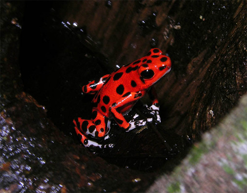 Famous strawberry poison-dart frog from the Red Frog Beach, Panama