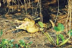 Caiman sunbathing (hvhe1) Tags: nature brasil wildlife wetlands crocodile caiman pantanal hennie krokodil kaaiman jacara hvhe1 hennievanheerden