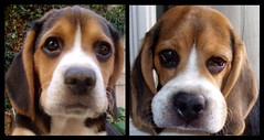 Ouch! (radioher) Tags: dog beagle spider big perro huge araa sick hormiga