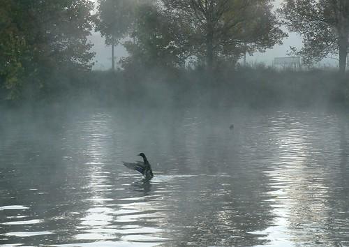 Mallard at dawn