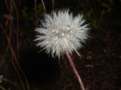 Mælkebøtte/Dandelion (Kirsten M Lentoft) Tags: white flower dandelion blomst hvid mælkebøtte momse2600 kirstenmlentoft