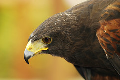 Harris hawk (ucumari) Tags: bird animal zoo nikon october hawk d70s columbia nikond70s riverbanks riverbankszoo columbiasc harrishawk october2006 specanimal ucumari animalkingdomelite abigfave october162006 ucumariphotos ucumariphotography
