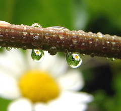 Its raining (aussiegall) Tags: flower macro leaf drop daisy raindrop aphotoaday project365 interestingness26 abigfave