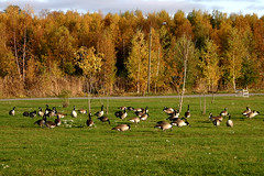 Canada gooses (westis) Tags: park autumn leaves yellow finland october scenery goose leafs canadagoose vaasa