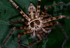 Death's Head (Arddu) Tags: fauna spider rainforest arachnid vietnam 105mmf28dmicro