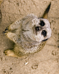 Quit Taking My Photo and Feed Me!!! (joschmoblo) Tags: wild copyright animal d50 zoo meerkat nikon louisville 18200 allrightsreserved 2007 joschmoblo christinagnadinger