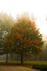 Tree in the mist (BioMaxPhotos) Tags: autumn mist holland fall netherlands landscape ilovenature 350d leiden topv333 herfst nederland paisaje holanda otoo biomaxi niebla laboratorium clusius pasesbajos