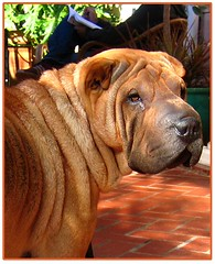 Snort (magnolia83912) Tags: sweet sharpei veryfriendly abigfave impressedbeauty