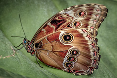 Blue-eyed Morpho peleides - underwing view (barriebrown) Tags: bluemorpho underwing butterflies wisley nature wildlife macro coffeetime