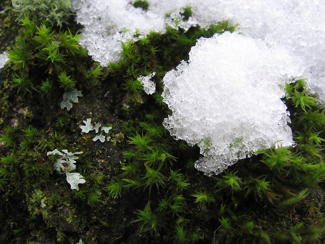 snow_moss