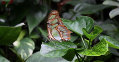 """""""Siproeta stelenes"""" (bugman11) Tags: bug bugs butterfly butterflies green insect insects animal animals fauna canon macro 50mm18stm nederland nature thenetherlands siproetastelenes leidschendam vlindersaandevliet leaf leaves 1001nights 1001nightsmagiccity 1001nightsmagicpeacock thegalaxy contactgroups"""