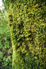 Fern Moss (Obsidianphotog) Tags: moss salem oregon pnw green outdoors spring