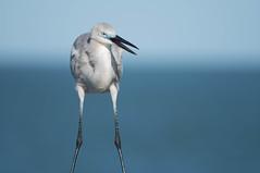 Great Blue Heron X Great Egret hybrid (lindseyday3) Tags: hybrid unique bird birds nature animal animals wildlife unusual wild d500 300mmf4 300mm