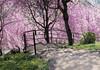 sakura2018:Omiwa Jinja Shrine,Nara(大神神社の桜) (Hisa-nori) Tags: sakura nara japan