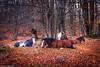 Cavalli a riposo (SDB79) Tags: cavalli riposo natura alberi bosco sottobosco foglie autunno animali