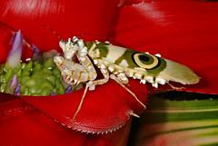 Psuedocreobotra Wahlbergii Praying Mantis On Bromeliad - Explore 4/8/'18 (AlaskaFreezeFrame) Tags: psuedocreobotrawahlbergiimantis mantis prayingmantis macro 100mm bright colorful exotic insects alaskafreezeframe nature closeup portrait canon bromelaid macroflash flash flower posing unusual handhold indoors explore inexplore bugs predator stalking attack