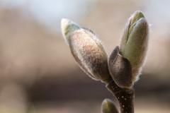 Magnolia bud (Francis Mansell) Tags: bud plant magnolia kewgardens kew royalbotanicgardenskew macro dof depthoffield
