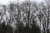 Leafless alder reach to a gray sky (rozoneill) Tags: gods thumb lincoln city oregon coast hiking trail roads end state park cascade head