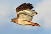 Red-tailed Hawk (NaturalLight) Tags: redtailed red tail hawk inflight chisholmcreekpark wichita kansas