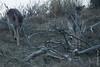 ©Mark Kras-Damhert-IMG_2406.jpg (markkras-fotografie) Tags: herten damhert zoogdieren fauna damadama fallowdeer nederland nl