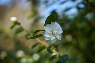 Camellia, Ramster garden