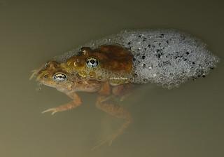 Ornate Burrowing Frog (Platyplectrum ornatum)