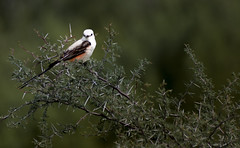 Look This Way_4354 (miss_betty2012 (not available much)) Tags: bird hillcountry muleshoebendrecreationarea scissortailedflycatcher spring tx texas scissortail flycatcher nature