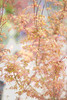 MapleART (allnights1) Tags: maple japanese acer orange