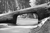 Sequoia (SamKigyosphotography) Tags: yosemite halfdome black white bw blackandwhite national parks sequoia park sequoianationalpark yosemitenationalpark kingscanyonnationalpark nationalpark leica nature vista landscape beautiful environment