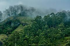 Amidst the mist and trees #evenings #mist #srilanka  #nature #fog #trees #landscape  #mistyscenes #panoramicview #outdoors #flora #mountains #tropicalweather ountain  #hills #travel #traveling #travellife #visiting #exploresrilanka  #environment #nikonpho (Nimsara Nanayakkara) Tags: nikon travellife landscape nikonphotography panoramicview environment traveling exploresrilanka outdoors visituva visitsrilanka evenings trees fog flora mistyscenes nature mountains visiting mist tropicalweather travel hills srilanka