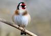 Goldfinch (davy ren2) Tags: sun light morning finch small birds d500 nikon photograthy nature wildlife