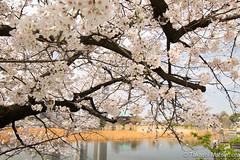 Ueno Park (takashi_matsumura) Tags: taitōku tōkyōto japan sakura cherry blossoms tokyo nikon d5300 ueno park shinobazu pond ngc afp dx nikkor 1020mm f4556g vr
