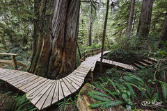 Walking Among the Giants (wilbias) Tags: park tree trunk footpath lush foliage boardwalk woods rainforest trail pacific rim national panorama vancouver island canada green big trees western red cedar thuja plicata