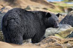 That's A Bear Bum! (PamsWildImages) Tags: bc britishcolumbia blackbear nature naturephotographer wildlife wildlifephotographer canada canon 5dmarkiii pamswildimages pammullins vancouverisland