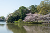 "Omiya Park ""大宮公園"" in the season of cherry blossoms (junjunohaoha) Tags: nikon d610 omiya saitama japan cherryblossoms"
