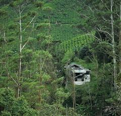 tea plantation (8) (SM Tham) Tags: asia southeastasia malaysia pahang cameronhighlands boh tea estate plantation trees house building landscape green