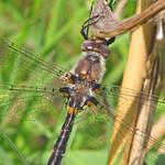 Uhler's sundragon (Helocordulia uhleri) - new thumbnail