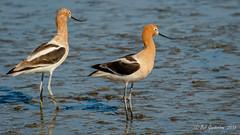 American Avocets (Bob Gunderson) Tags: california coastcaseyforebay northerncalifornia santaclaracounty southbay americanavocets birds avocets