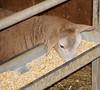 Eating creep (baalands) Tags: katahdin hair sheep lamb creep feeder feed grain corn