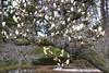 April VI (witajny) Tags: naturepictures nature naturephotography park garden brooklynbotanicgarden brooklyn newyork flowers magnolia