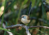 Male Variegated Fairy-wren in eclipse plumage (Greg Miles) Tags: variegatedfairywren maluruslamberti scottshead newsouthwales australia