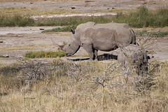 White Rhinos (featherweight2009) Tags: whiterhinoceros ceratotheriumsimum squarelippedrhinoceros rhinoceruses rhinos mammals africa