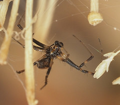 a beautiful couple (Allan Lance) Tags: araneidae orbweaver bordertown southaustralia ajl