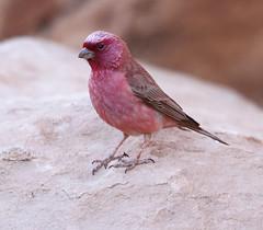Sinai Rosefinch (Wild Chroma) Tags: carpodacus synoicus carpodacussynoicus rosefinch sinai wadi rum wadirum birds passerines jordan desert